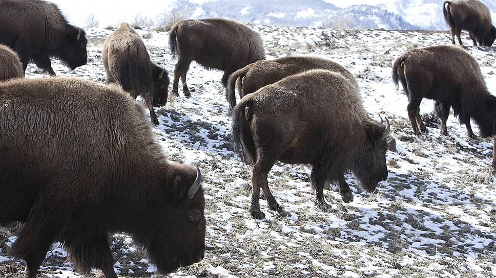 Йеллоустонские бизоны навели страху на весь мир