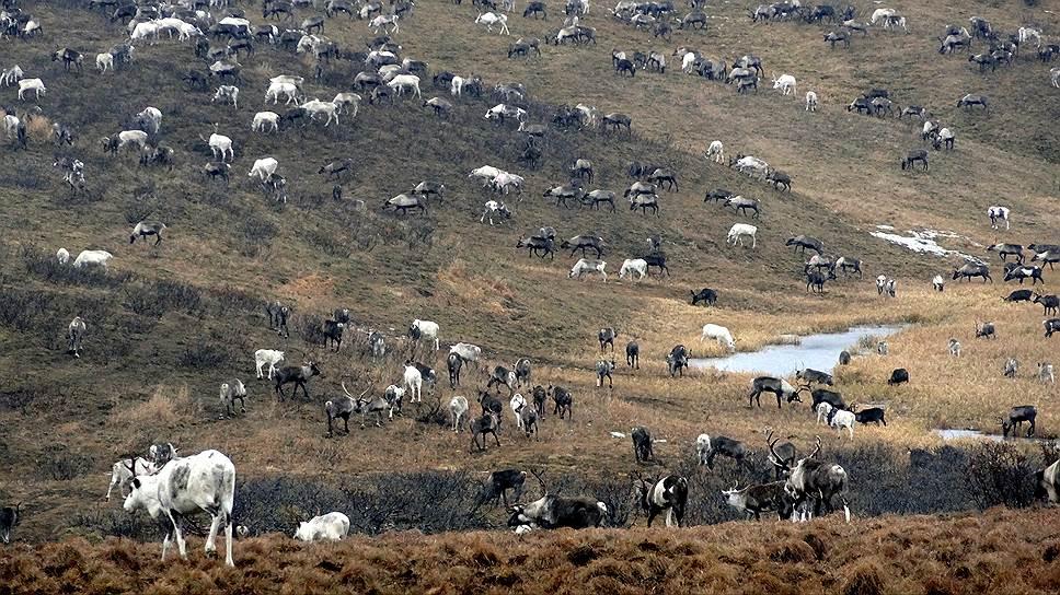 Ненецкие олени пасутся в тундре