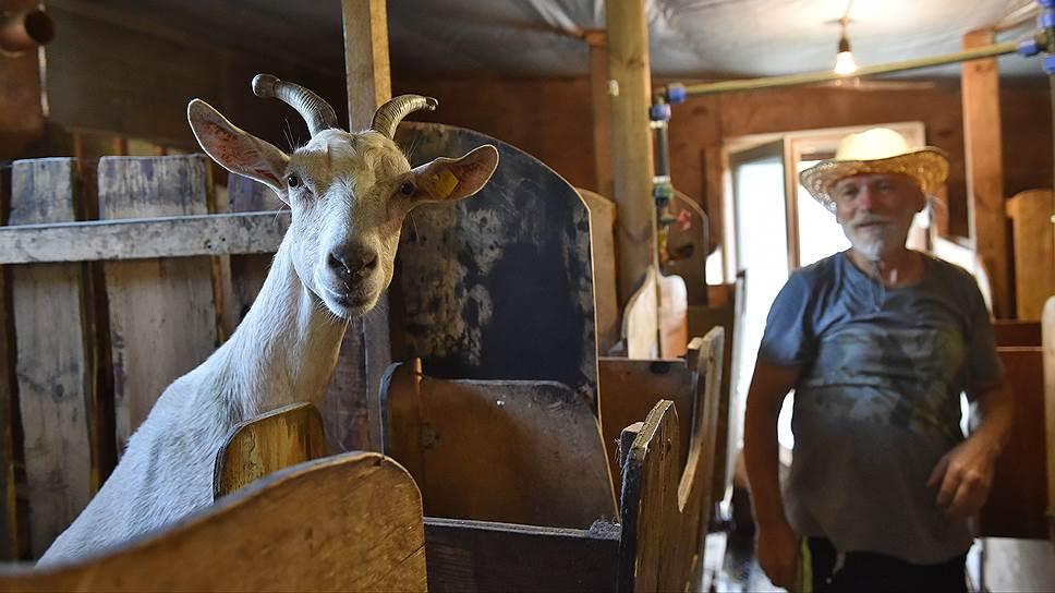 Альпийских коз Юрия Карамзина в селе называют летающими — у них очень длинные уши