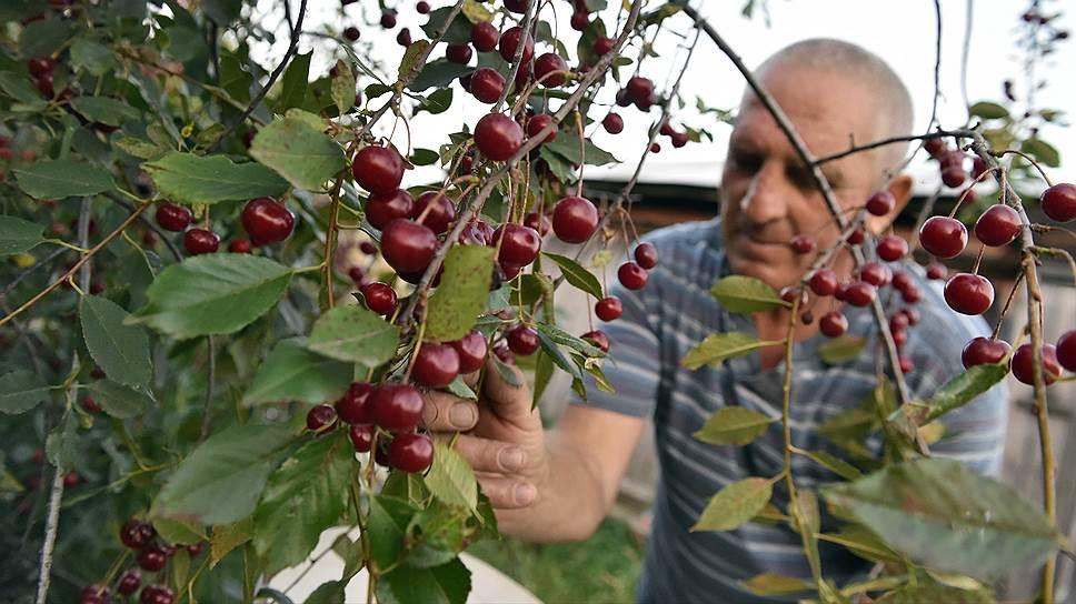 В этом году в Лоху столько вишни, что местные не успевают собирать