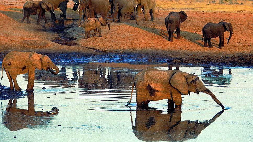 Человек выдавливает животных из традиционных для них мест обитания, и, возможно, скоро мы не сможем наблюдать такие идиллические картинки (на фото-- слоны в национальном парке в Зимбабве)