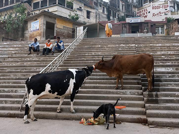 Коровы свободно гуляют по Варанаси. В холодные ночи они спят на улице вместе с собаками. Так животные греют друг друга