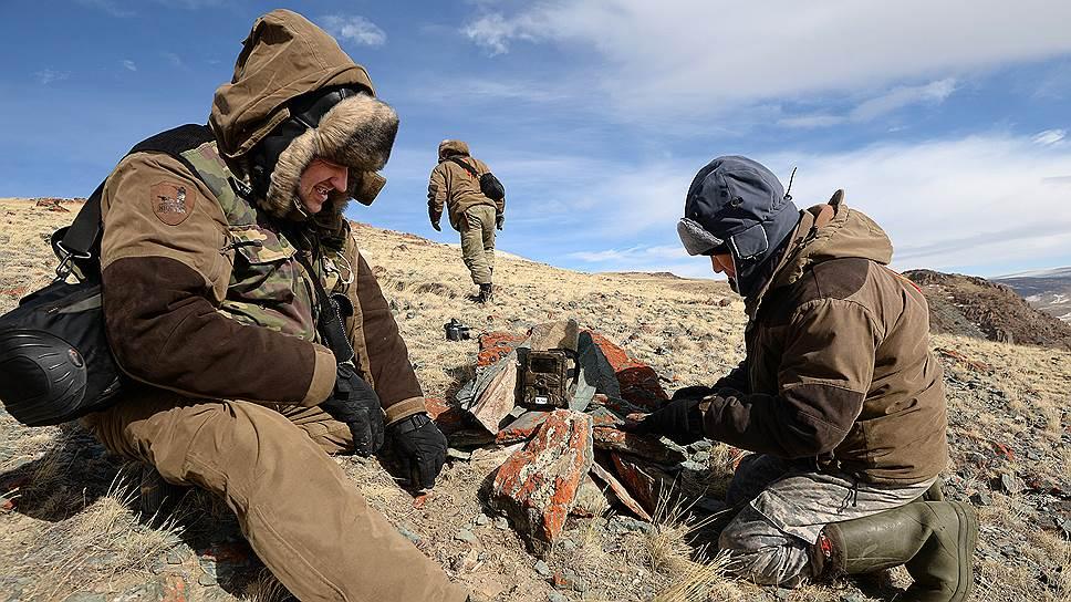Как в Горном Алтае спасают амурских тигров от браконьеров