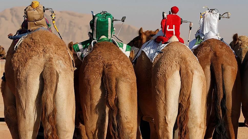 """В иорданской пустыне Вадим-Рам традиционно осенью проходят верблюжьи бега. Хотя их история насчитывает многие века, новые технологии не обошли гонки стороной. Верблюдами управляют с помощью роботов (в кадре), оборудованных приемниками, на которые сигналы животным передают по рации их владельцы, сидя в джипах, едущих параллельно трассе забега. Уже 10лет как """"живые"""" жокеи запрещены, занятие это небезопасное: верблюды способны развивать скорость до 65км/ч"""