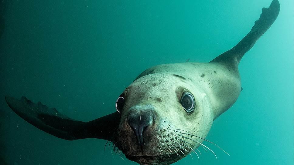 Из всех морских млекопитающих сегодня именно тюлени готовы в случае опасности защитить северные рубежи России