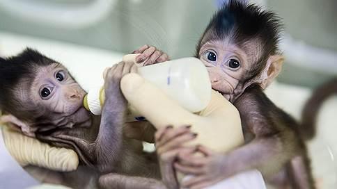 С новым клоном!  / Чего ждать от китайской науки после успешного клонирования приматов? Андрей Кириллов — из Пекина