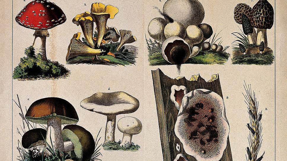 Серьезно изучают и описывают грибы с XVIIIвека