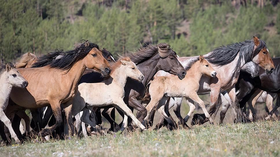 Лошади знаменитой забайкальской породы. Считается, что в их жилах течет кровь скакунов, которых разводили кочевники еще в 1-мтысячелетии дон.э.