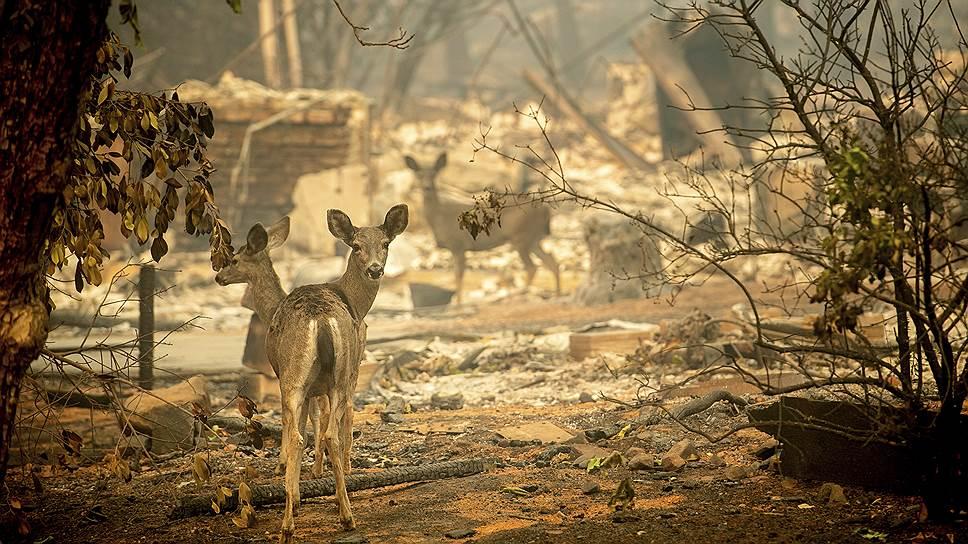 Огонь выгнал животных на улицы города. Точнее, туда, где раньше были улицы