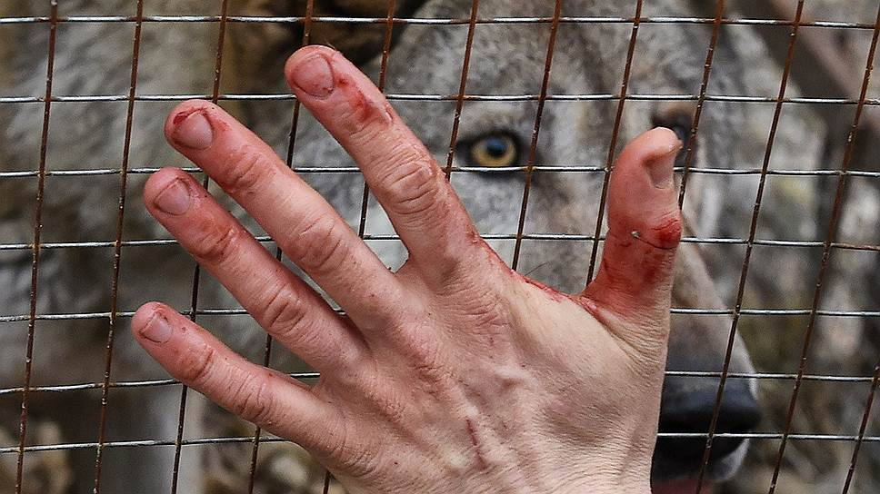 Только русский волк сохранил свой чистый генотип, во всем мире остались лишь гибриды