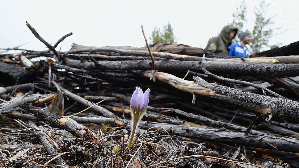 Эти цветы на Ольхоне называют ургульки. Они растут в лесу и на скалистых берегах