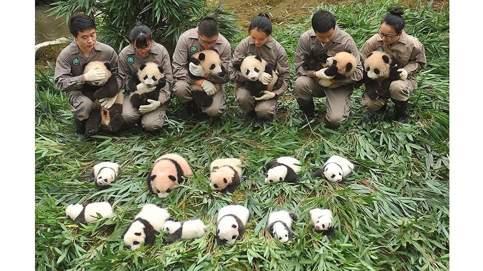 Большая панда, или медведь-кошка, как ее называют китайцы — один из главных символов Поднебесной. Более 80 процентов всех панд живут в провинции Сычуань. Они встречаются как в дикой природе, так и в различных питомниках и заповедниках