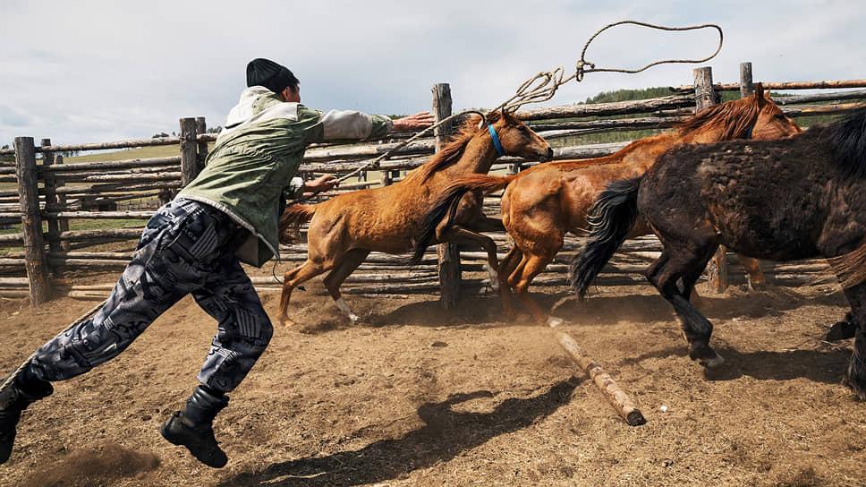 Лошади буденновской породы на частной ферме. Животновод Балта Доржиев ловит жеребца для обкатки