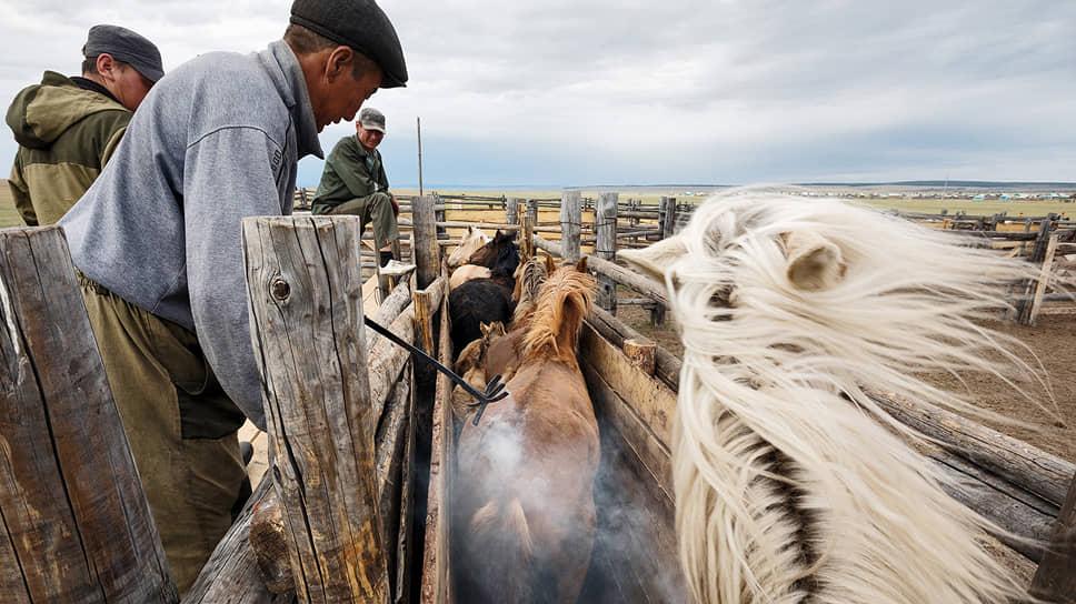 Горячее таврение лошадей забайкальской породы. Процедура необходима для учета поголовья