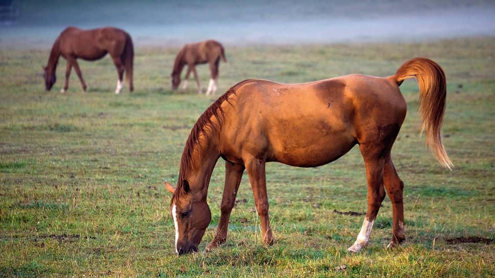 Лошади донской породы на утренней зорьке