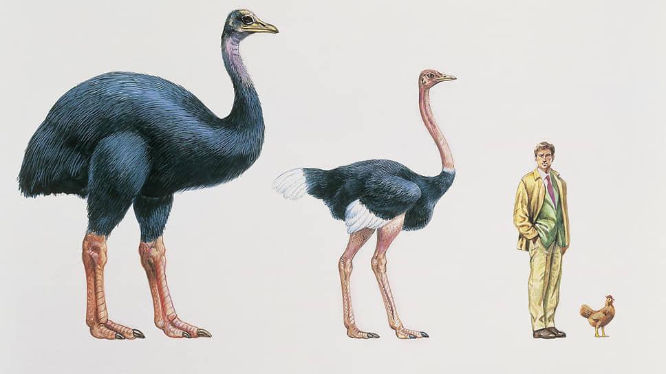Вес вымерших птиц-гигантов приближался к 650 килограммам. Сегодняшние курицы могут только позавидовать таким габаритам
