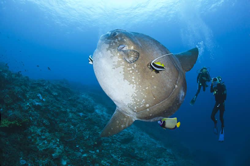 На глубине животным свойственен гигантизм. На фото — рыба- Луна, которая весит больше тонны