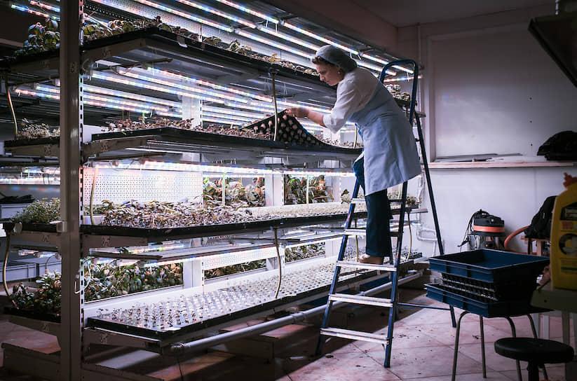Предприниматель выращивает салат на цокольном этаже жилого дома