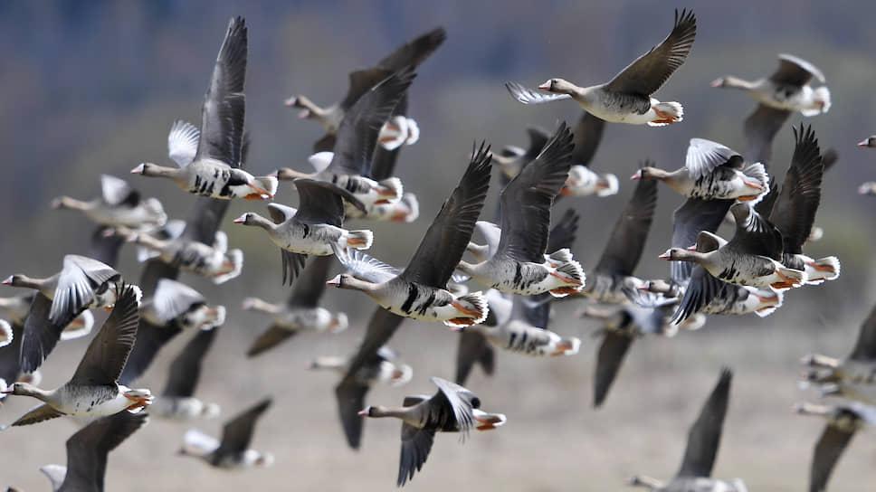 Серые гуси улетают на зимовку последними. Считается, что после их отлета начинаются настоящие холода