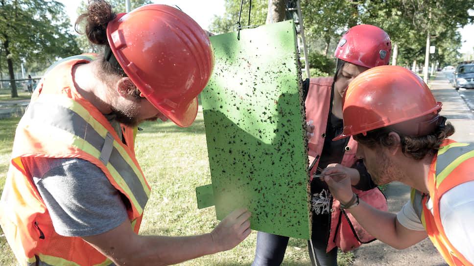 Ученые проверяют ловушки, расставленные на ясеневых изумрудных узкотелых златок. Такие приспособления помогают определить численность насекомых