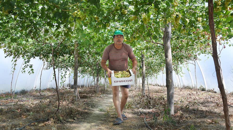 Андрей Богомолов выращивает виноград в теплицах, чтобы снизить расход воды на полив