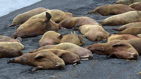Худые моржи, морские млекопитающие  / Проголодавшиеся