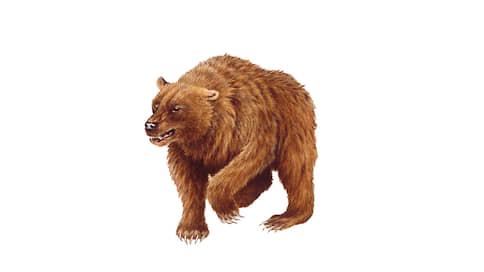 Пещерный медведь, Ursus spelaeus  / Сохранный