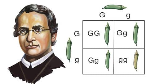 Гений генетики  / Как изменилась наука о наследственности со времен Грегора Менделя