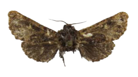 D. saltykovishchedrini, древоточец  / Крылатый