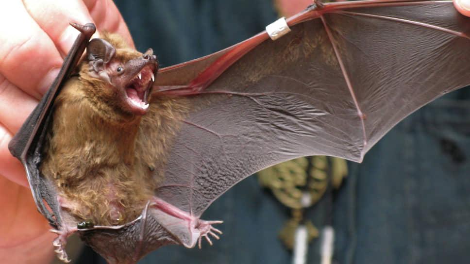 Летучие мыши — природный резервуар инфекций: ученые нашли у них «родственников» почти всех человеческих вирусов. Но этот резервуар не единственный…