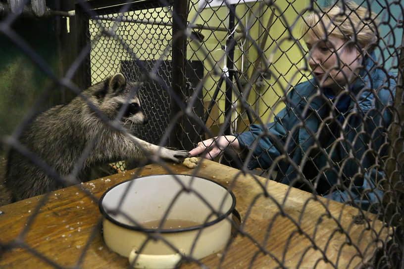 Енот в Никеле не экзотика, а обитатель местного зоопарка, самого северного в мире