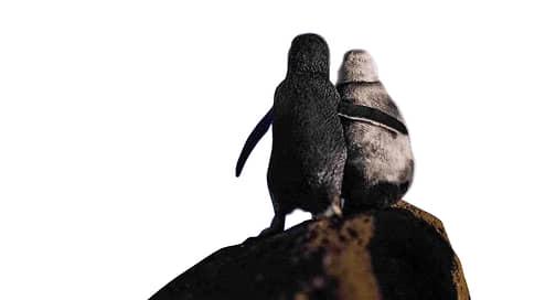 Два малых пингвина, вид Eudyptula minor  / Чуткие