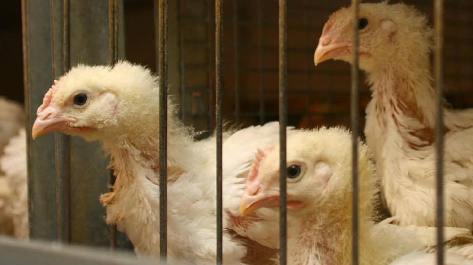 «Равису» обломали крылья / Среднеуральскую птицефабрику закрывают из-за нарушений пожарной безопасности