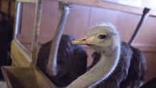 У страуса штрафы велики