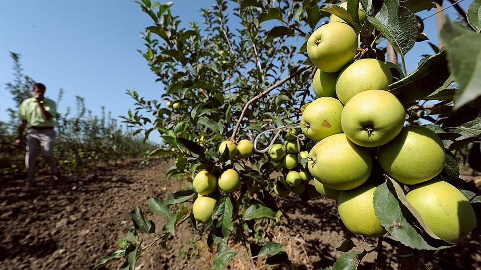 Край намерен стимулировать производство яблок за счет господдержки