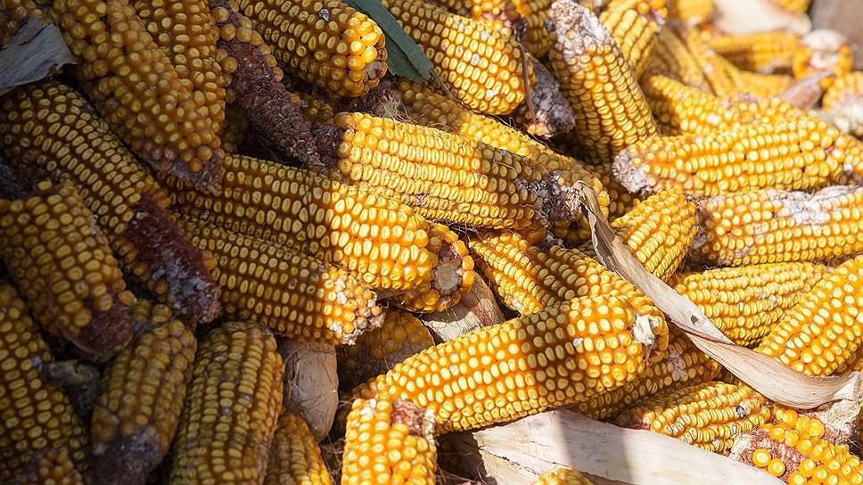 Урожайность сахарной кукурузы на отдельных агропредприятиях Краснодарского края достигла 250 ц/га