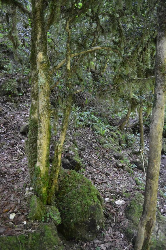 При заражении огневкой листья и побеги покрываются рыхлой паутиной, после чего растение засыхает. Июнь 2021 года (мертвые самшиты)