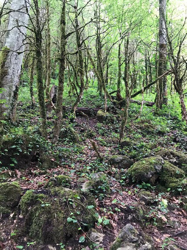 Деревья самшита в ущелье полностью объедены тысячами гусениц самшитовой огневки. Июнь 2021 года (мертвые самшиты)