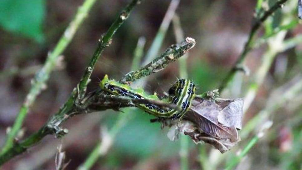 Самшитовая огневка, гусеницы которой почти полностью уничтожают заросли самшита, опасна тем, что ее практически нельзя побороть