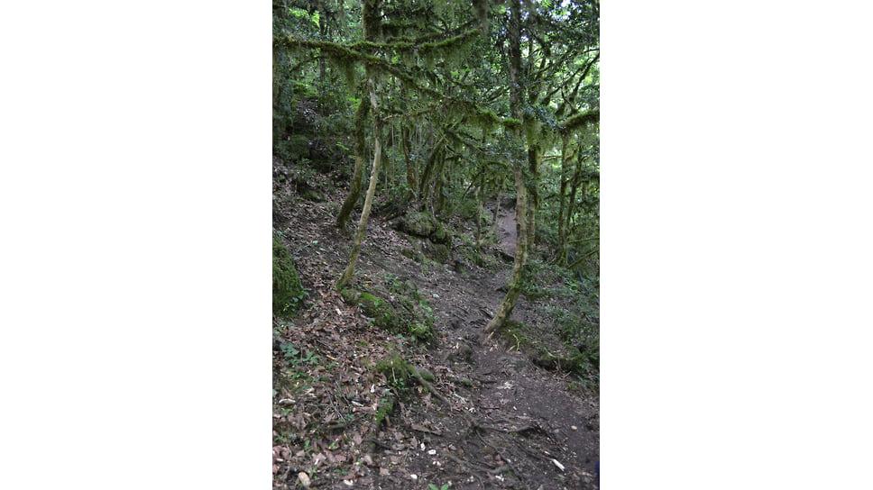 Так выглядели самшитовые леса в Мезмае до заражения их вредителем. Октябрь 2008 года (живые самшиты)