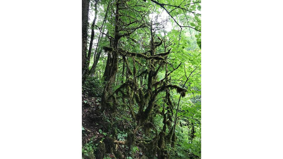 От вредителя, в частности, пострадали территории Гуамского ущелья, Мезмайского каньона, Лагонакского хребта и Курджипского ущелья. Июнь 2021 года (мертвые самшиты)