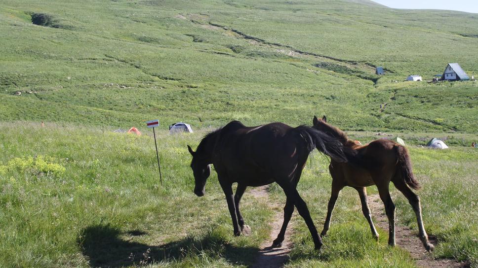 Лошадь  с жеребенком пасутся на субальпийских лугах