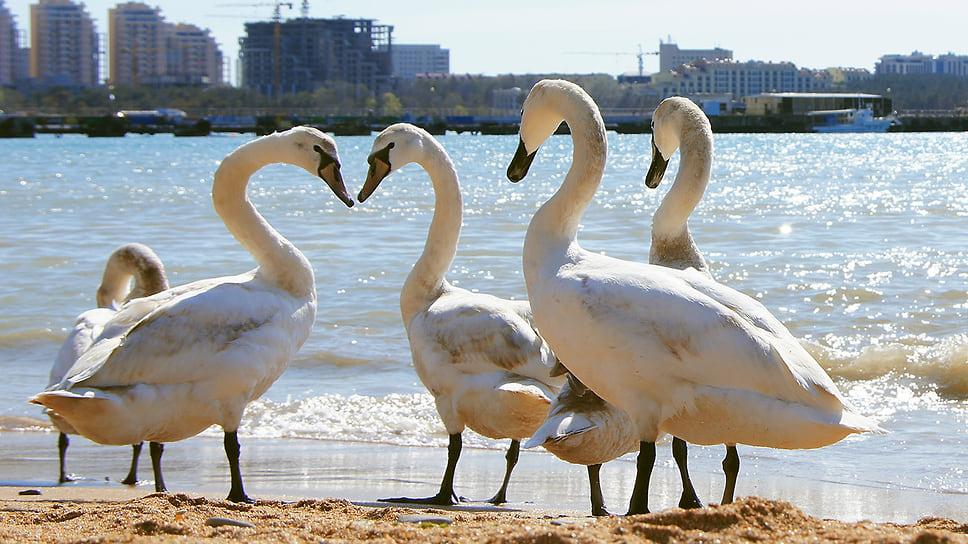 Белые лебеди на городском пляже города-курорта Геленджик. Май 2013 года