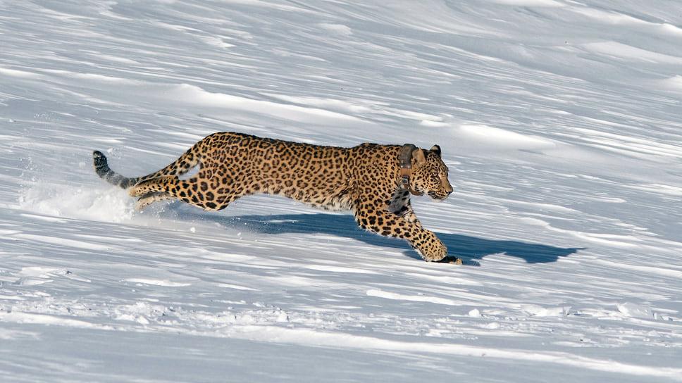 Выпуск переднеазиатского леопарда Виктории, 29 декабря 2017 года. Виктория погибла в январе 2018 года