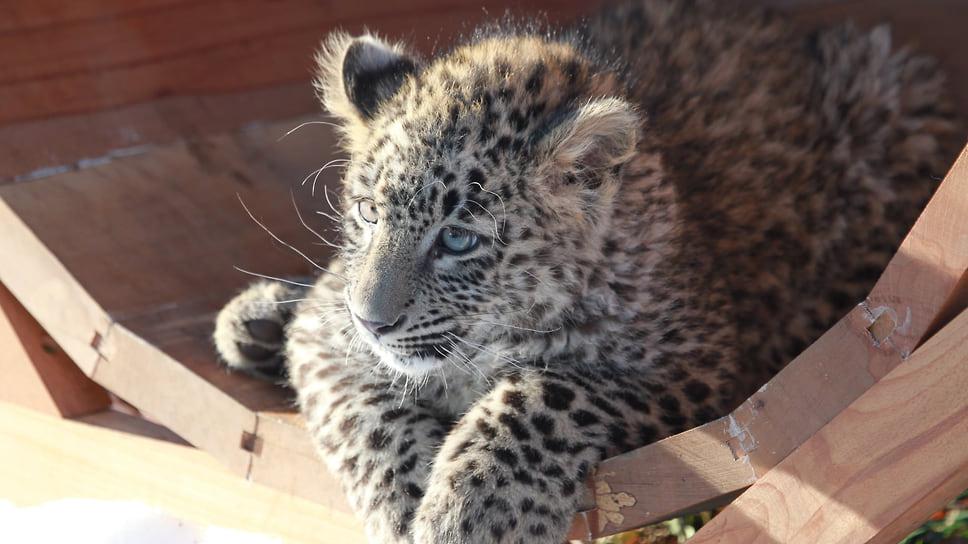 Подготовка леопардов к выпуску в дикую природу занимает 1,5-2 года, затем животные должны сдать экзамены на готовность жить самостоятельно