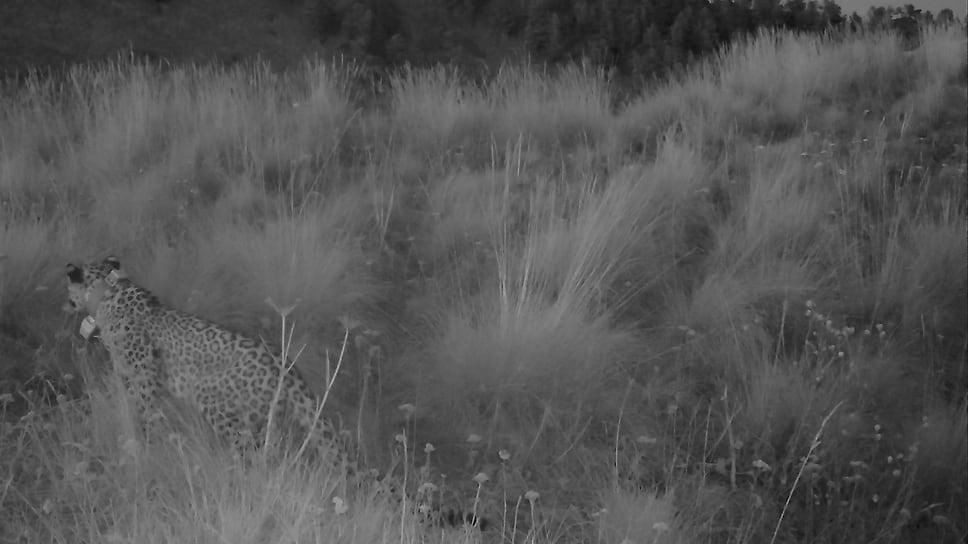 Леопард Лаба, осень 2020 года. Лаба погибла прошлой осенью по невыясненным обстоятельствам