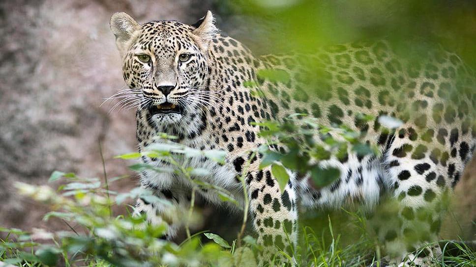 Леопардесса Шива