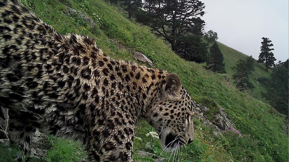 Переднеазиатский леопард Ахун на своем участке в Кавказском заповеднике