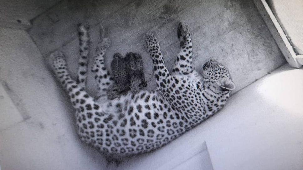 Леопардесса Шива с котятами. Всего с 2009 года в Центре реинтродукции родилось 23 котенка, включая двух последних