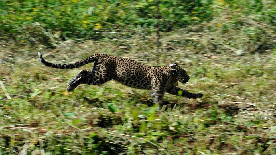 Леопард Лаба, 2020 год